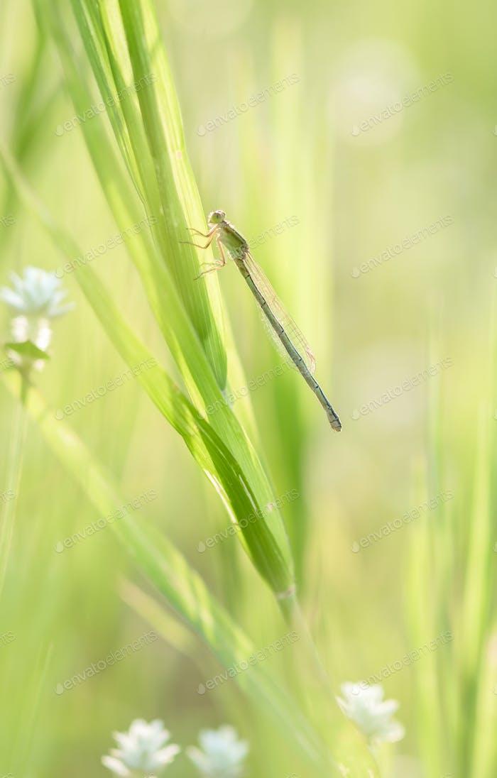 Damselfly on grass leaf