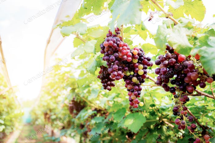 Red grapes in vineyard at sunlight