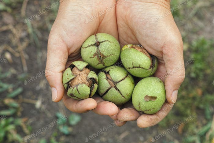 Fresh harvested walnuts in a green husk