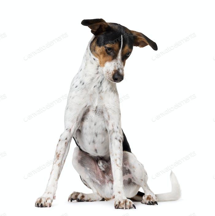 Spanish dog Ratonero Bodeguero Andaluz, isolated on white