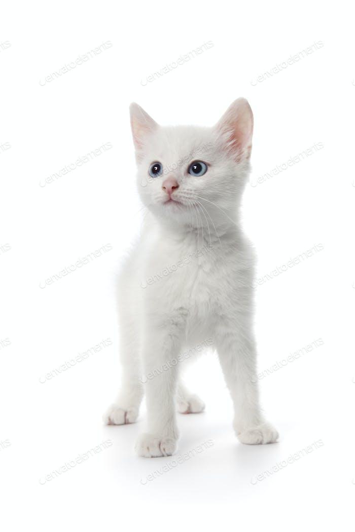 Cute white kitten with blue eyes
