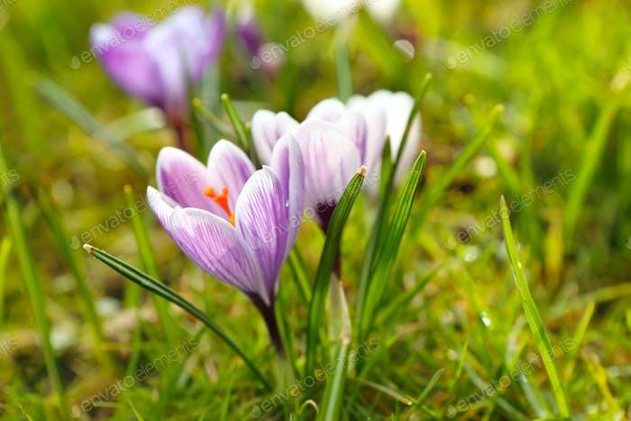 Krokusblüten im Frühling