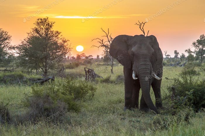 African Elephant at sunrise