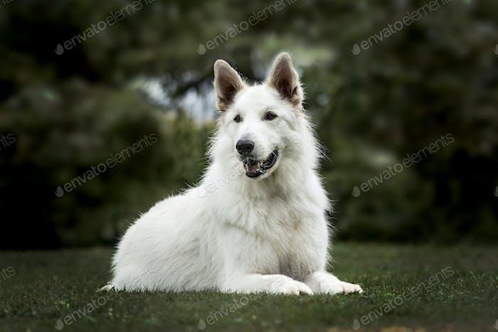 White Swiss Shepherd, 3 years old, in park