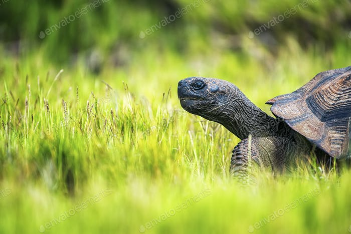 A Galapagos Tortoise walking through grass, side view of the head and part of the shell.