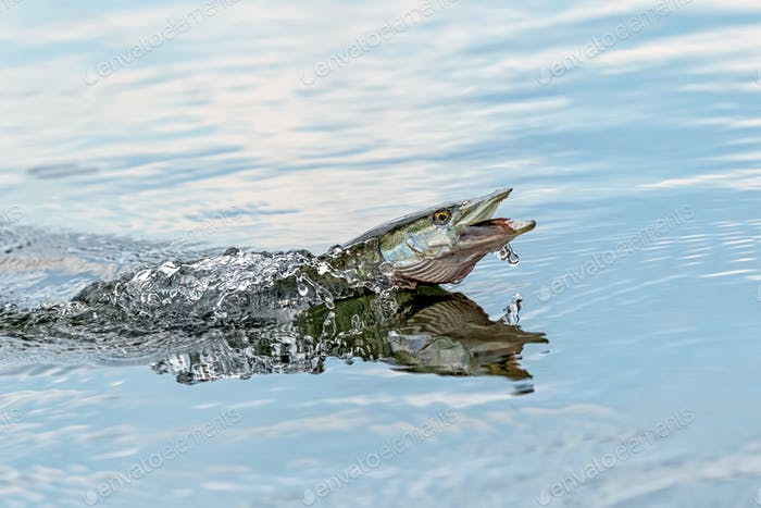 Northern pike splasing in water
