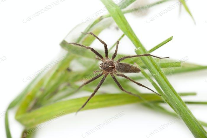 Nursery web spider, Pisaura mirabillis, on nest in front of white background