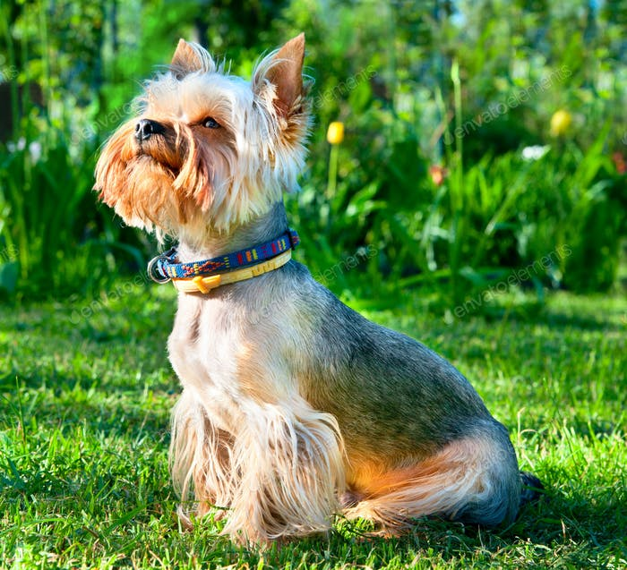 Yorkshire Terrier  on green grass