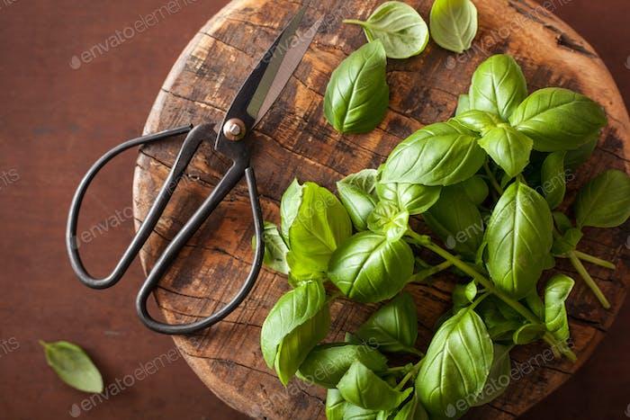 fresh basil herb and scissors