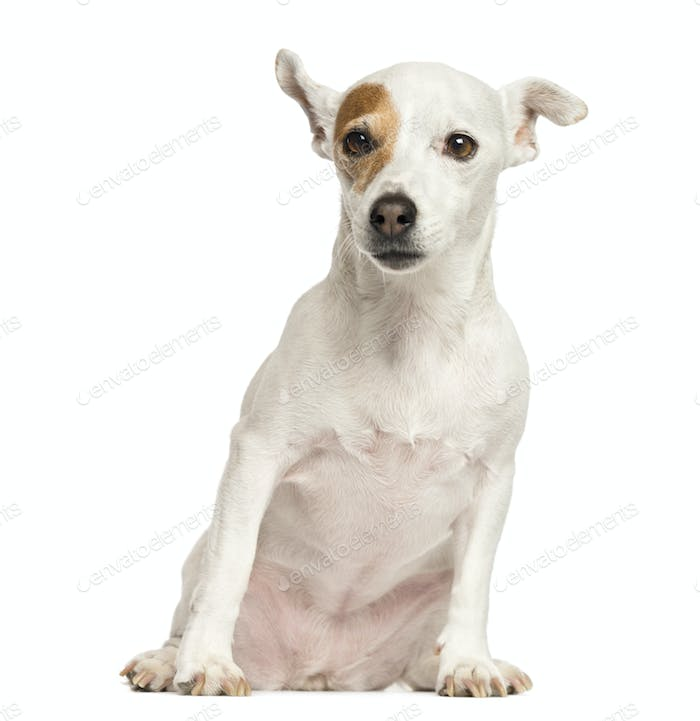 Jack Russell Terrier sitting, 6 years old, isolated on white