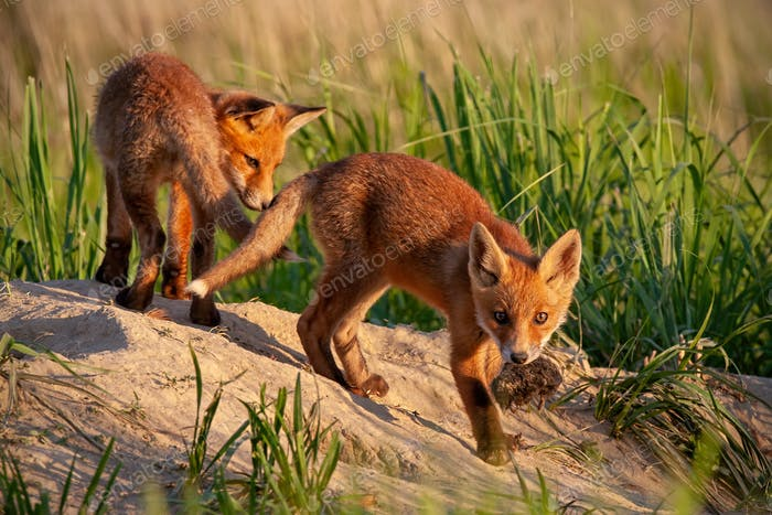 Red fox, vulpes vulpes, small young cubs near den playing