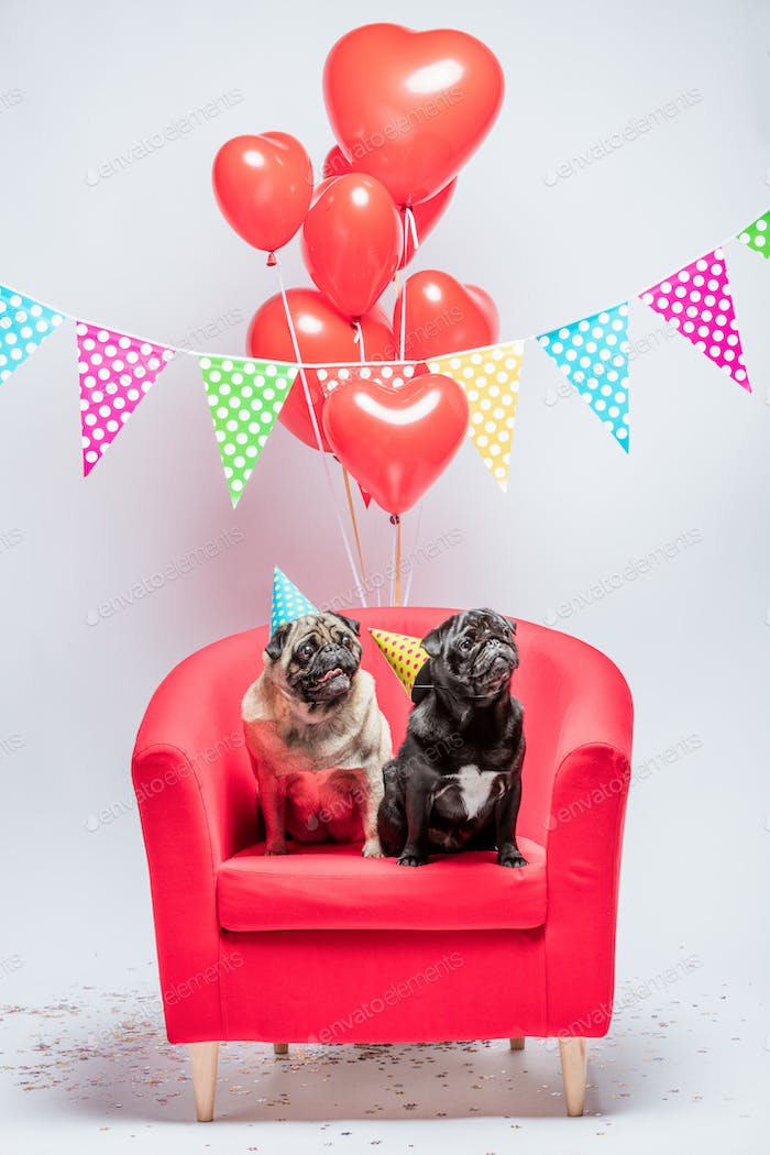 Two pugs dogs with birthday decorations.