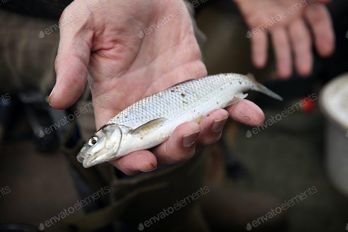 Ein kleiner Dace Fisch, ein gefangener Fisch, der in der Hand eines Anglers gehalten wird.