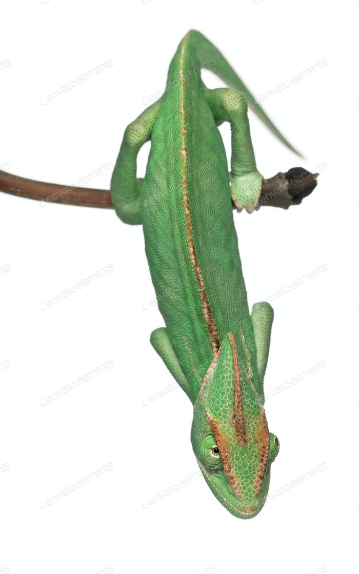 Young veiled chameleon, Chamaeleo calyptratus, in front of white background