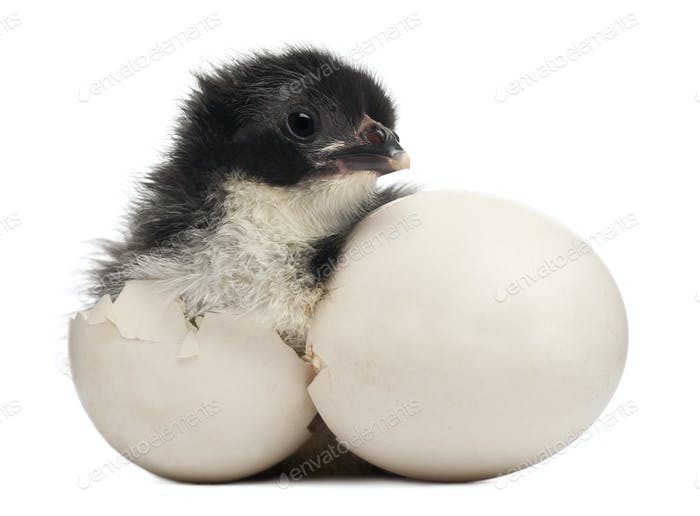 Chick, Gallus gallus domesticus, 8 hours old, standing next to it's own egg