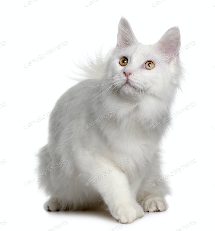 White maine coon (7 months old)