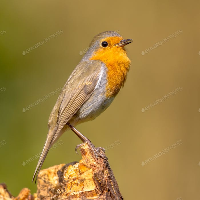 Cute red robin singing song