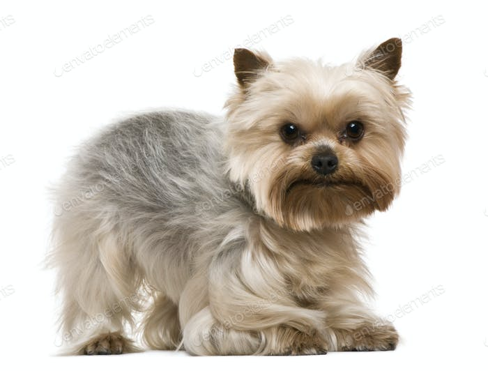 Yorkshire terrier, 3 years old, in front of white background