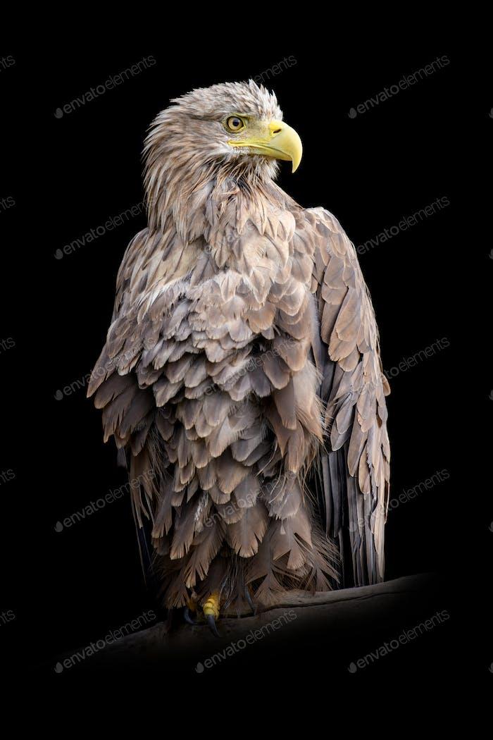 White-tailed eagle portrait on black background