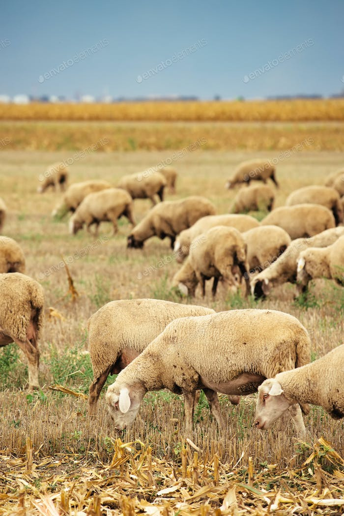 Sheep herd grazing on wheat stubble field