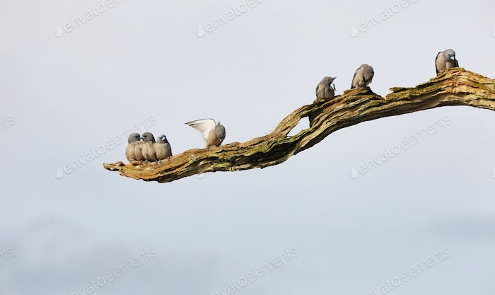 Group of ashy woodswallows birds perched in a branch i Periyar lake in Periyar national park, India