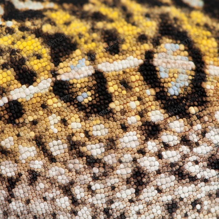 Close-up of Young Panther Chameleon skin, Furcifer pardalis
