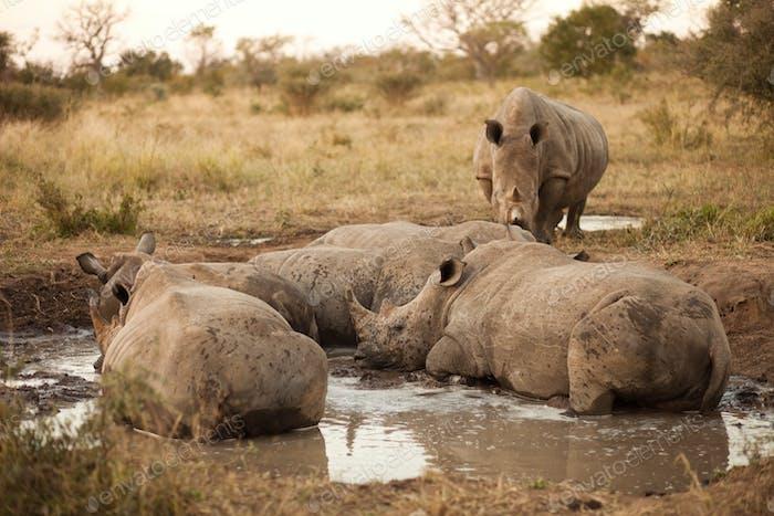 Rhinos lying in the mud