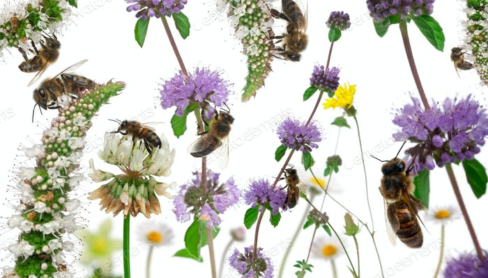 Female worker bees composition, Anthophora plumipes, in front of white background