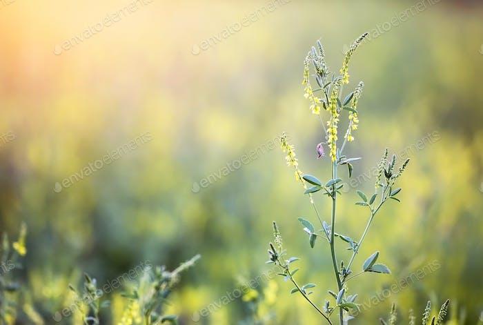 Pollen flowers
