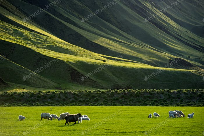 Icelandic landscape with countryside grazing sheep in the highlands, Iceland