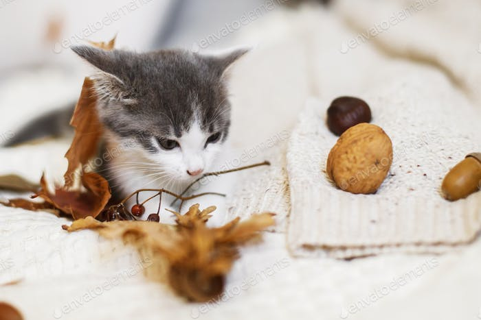 Cute white and grey kitty playing with fall decorations