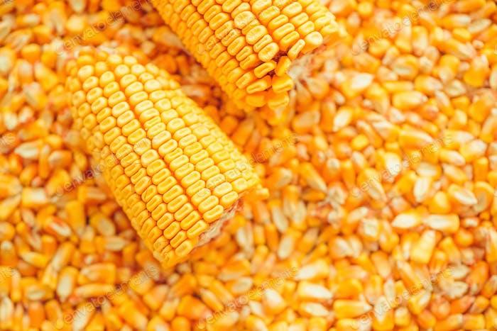 Harvested corn kernels