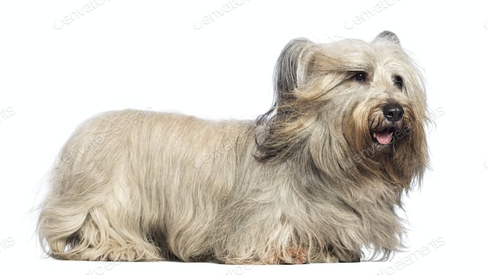 Skye Terrier with wind a the face against white background