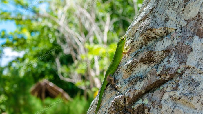 Emerald Lizard on Palm near Yenanas Homestay, Gam Island, West Papuan, Raja Ampat, Indonesia