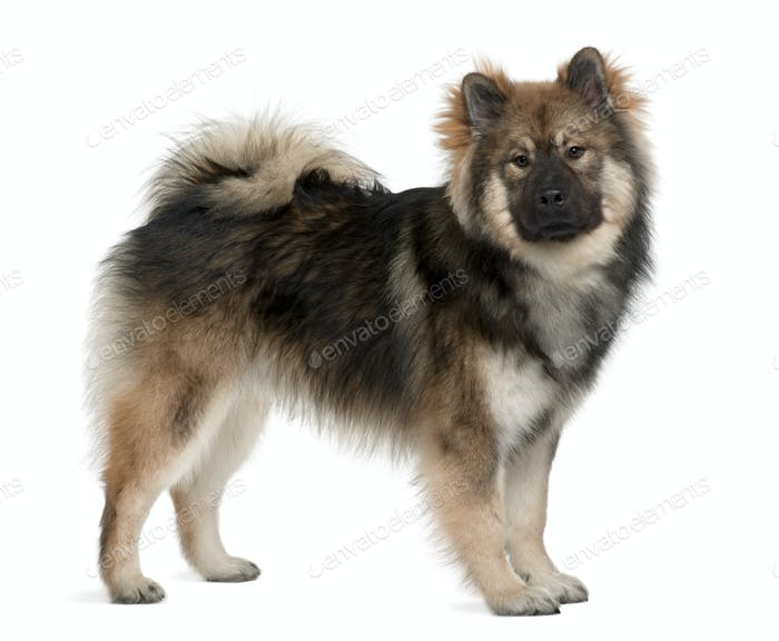 Eurasier dog, 1 Year Old, standing in front of white background