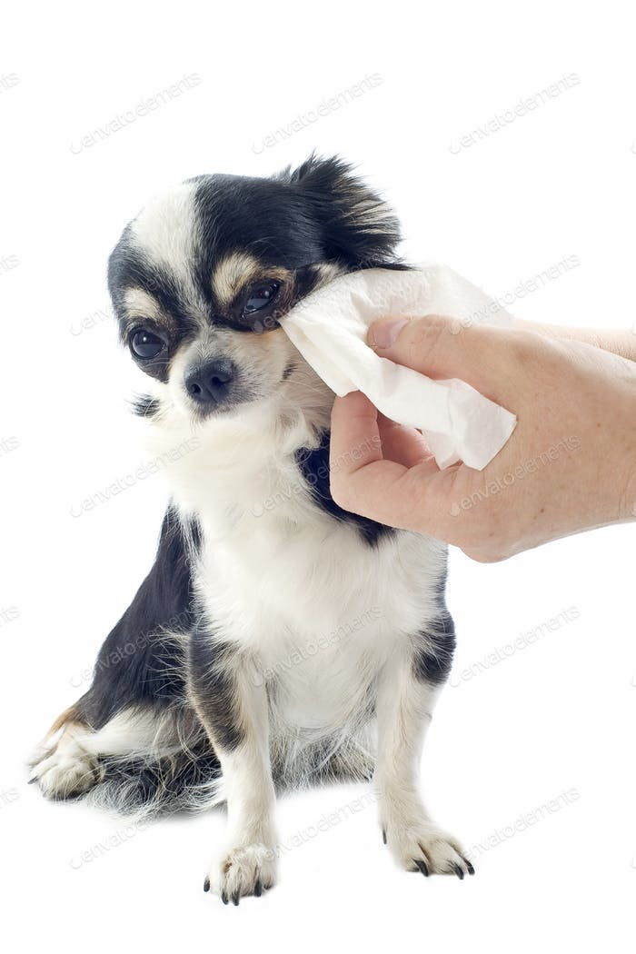 grooming of chihuahua