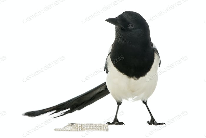 Common Magpie with jewellery, Pica pica, isolated on white