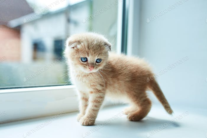 British little playful kitten at home near the window