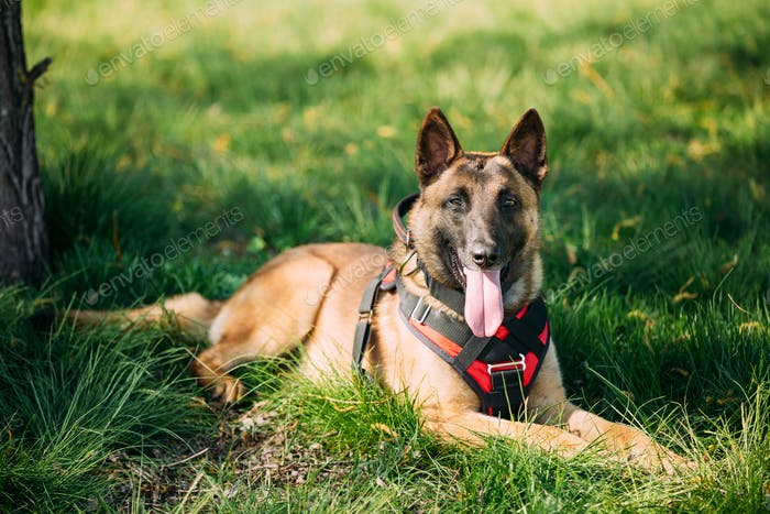 Malinois Dog Sit Outdoors In Green Grass