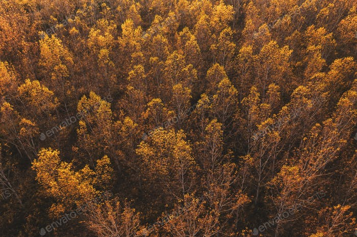 Aerial view of aspen tree forest in autumn sunset