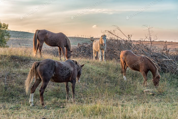 Four horses grazing at sunset near Lydenburg