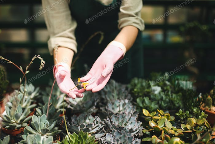 Close up woman hands in pink gloves caring about flowers in greenhouse