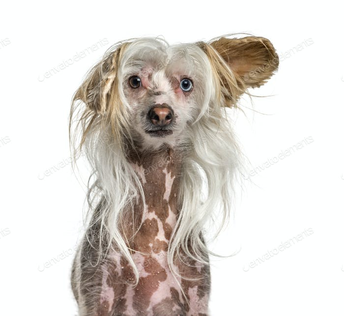 Close-up of a hairy Shaggy Chinese crested dog