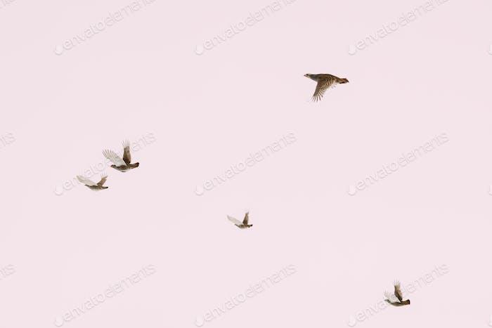 Belarus. Wild Perdix Birds Or True Partridges Flying In Winter S