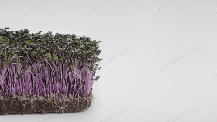 Purple Sprouted seeds isolated on white background