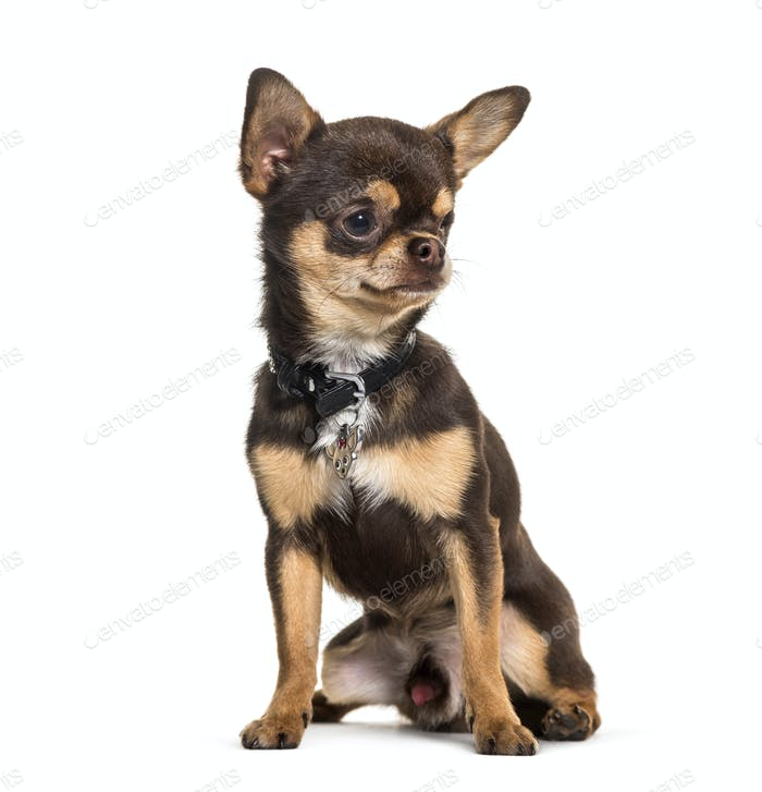 Illness Chihuahua with one eye less sitting against white background