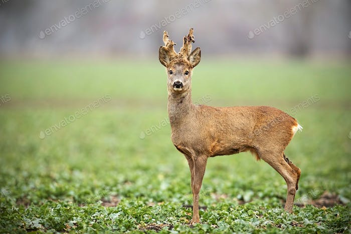 Roe deer, capreolus capreolus, buck with big antlers covered in velvet standing