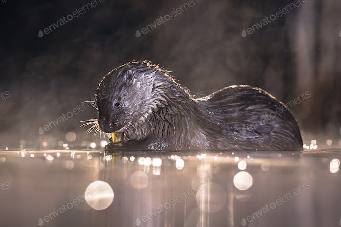 European Otter eating fish at night