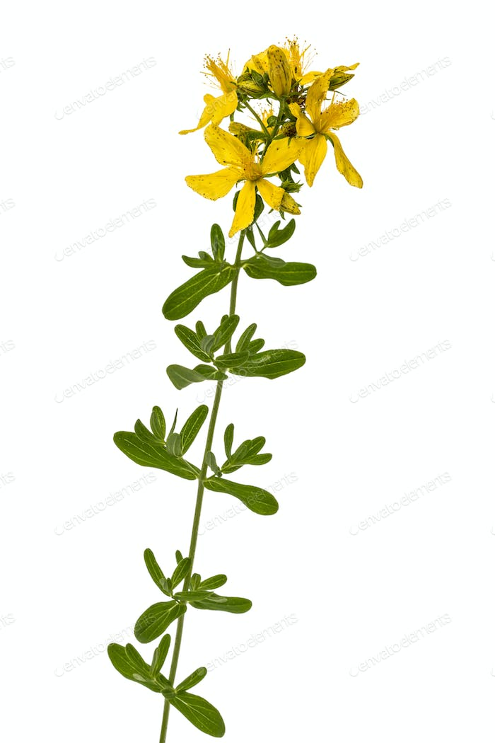 Flowers  of St. John's wort (Hypericum perforatum), isolated on