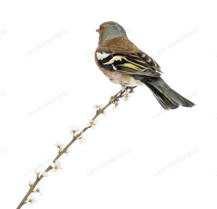 Rear view of a Common Chaffinch perched on branch, isolated on white - Fringilla coelebs